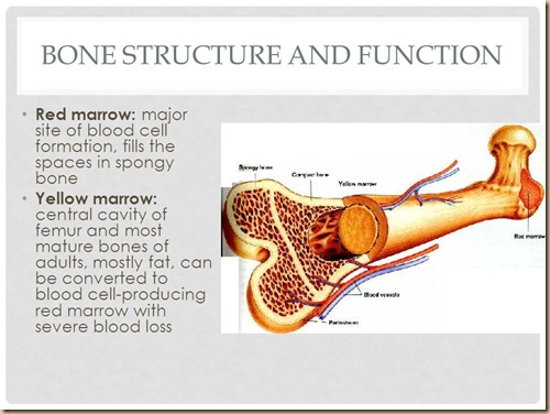 bone structure and function
